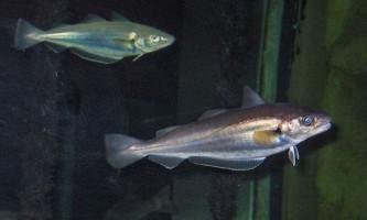 Риба мерланг. Опис, відео тваринного
