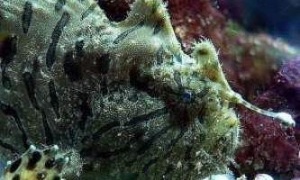 Риба морський чорт