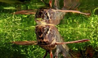 Риба-метелик - літаюча риба