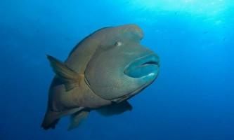 Риба-наполеон: навіщо вона «носить» треуголку?