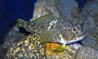 Риба нототенія