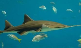Риба-пила: всі подробиці підводного життя