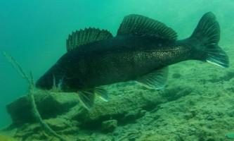 Риба судак - ікласта хижачка