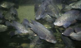 Риба святого петра