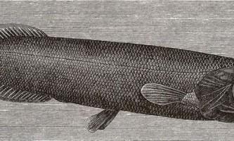 Риба талісман, вона ж - плешан берда