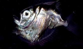 Риба-топірець - «металевий» мешканець морських глибин