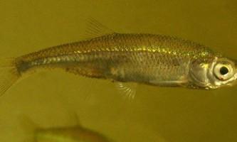 Риба верховка: фото, опис