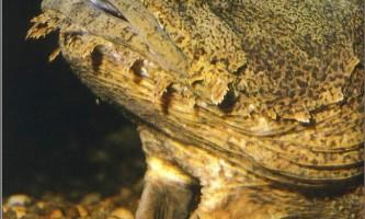 Риба-жаба
