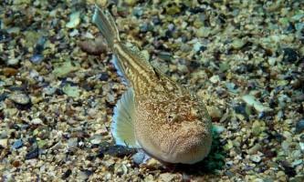 Риба-звіздар - підводний «астроном»