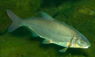 Рибець