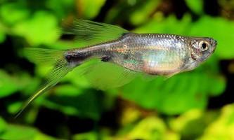 Рибка дракон з роду корінопома: фото