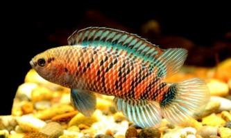 Рибка хамелеон або бадіса-бадіса