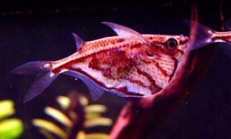Рибка карнегіелла: фото південноамериканської красуні