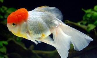 Рибка червона шапочка