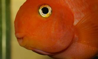 Рибка червоний папуга (red blood parrot fish)