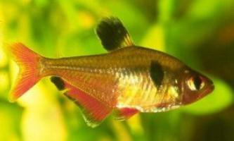 Рибка мінор