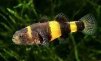 Рибки бички
