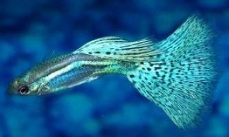 Рибки гупікі: як доглядати