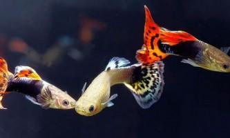 Рибки гуппі навчилися плавати краще самців, щоб уникнути домагань
