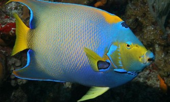 Риби-ангели - прикраса моря