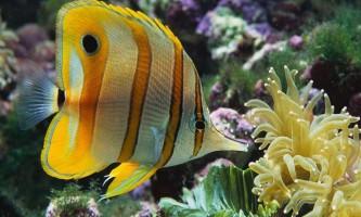 Риби-метелики