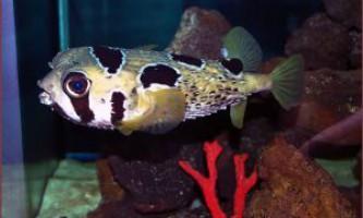 Риби собачки