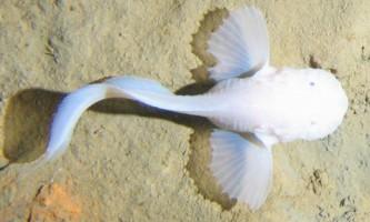 Риби-равлики відкрили очі на життя в глибоких жолобах