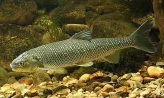 Риби, занесені до червоної книги україни