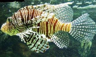 Риби-зебри загрожують атлантиці екологічною катастрофою