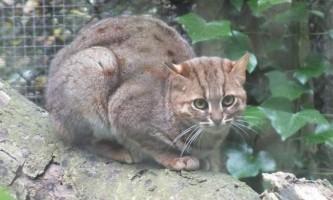 Іржава кішка, вона ж - плямисто-руда