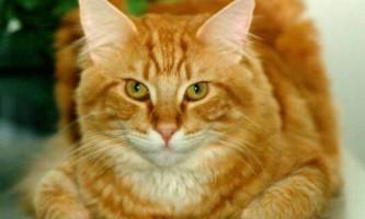 З чого почати лікування отиту у кішок?