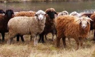 З чого почати вигідне розведення овець: бізнес план
