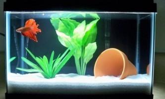 З ким уживаються рибки півники в загальному акваріумі