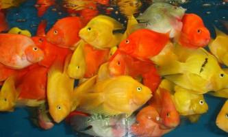 З ким уживаються золоті рибки в акваріумі