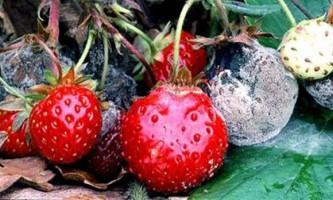 Садова суниця - найпоширеніші хвороби та їх лікування