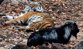 Сафарі-парк тимура і амура потрапив в число кращих зоопарків планети