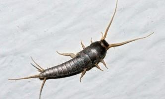 Цукрова чешуйніци - древнє комаха, що живе в будинках