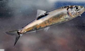 Салака - промислова риба балтики
