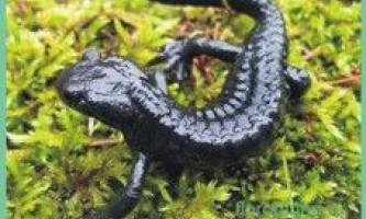 Саламандрачерная / salamandra atra