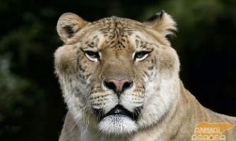Найбільша кішка на землі лигр