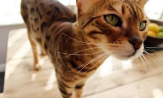 Найбільша кішка в світі: хто ж вона?