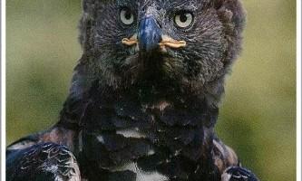 Найбільша літаючий птах - вінценосний орел