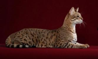 Найбільша порода кішок в світі: опис, фото, рейтинг