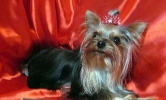 Найменша собака росії живе в челябінську