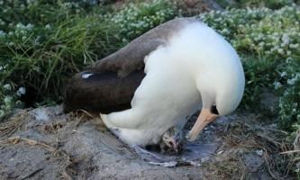 Найстаріша дика птиця на прізвисько wisdom