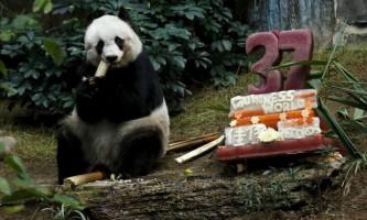 Найстаріша панда відзначає свій 37-й день народження