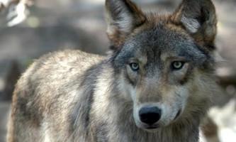 Найзнаменитіша вовчиця в світі було вбито в єллоустонському парку