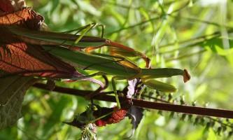 Самці богомолів воліють вітряну погоду для полювання і розмноження