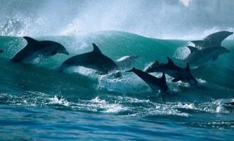 Самці дельфінів допомагають один одному доглядати за самками