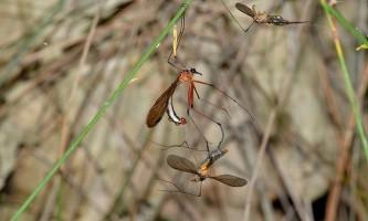 Самці hylobittacus apicalis крадуть шлюбні подарунки, прикидаючись самкою